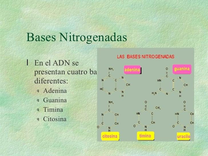 Bases Nitrogenadas <ul><li>En el ADN se presentan cuatro bases diferentes: </li></ul><ul><ul><li>Adenina </li></ul></ul><u...