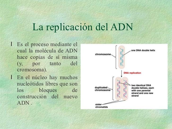 La replicación del ADN <ul><li>Es el proceso mediante el cual la molécula de ADN hace copias de sí misma (y, por tanto del...