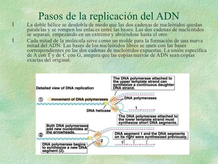Pasos de la replicación del ADN <ul><li>La doble hélice se desdobla de modo que las dos cadenas de nucleótidos quedan para...