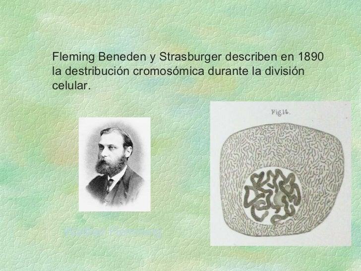 <ul><ul><li>Fleming Beneden y Strasburger describen en 1890 la destribución cromosómica durante la división celular.  </li...