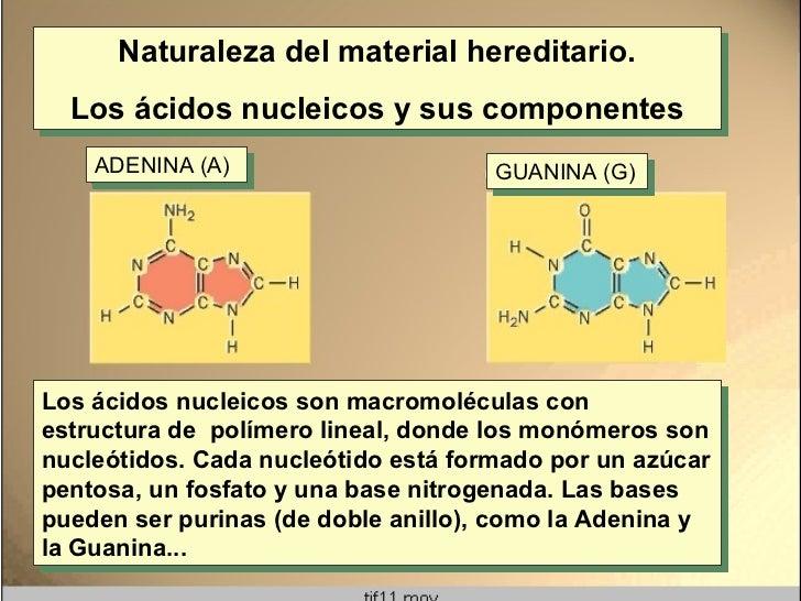 Naturaleza del material hereditario. Los ácidos nucleicos y sus componentes Los ácidos nucleicos son macromoléculas con es...