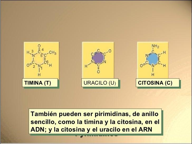 También pueden ser pirimidinas, de anillo sencillo, como la timina y la citosina, en el ADN; y la citosina y el uracilo en...