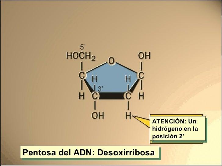 Pentosa del ADN: Desoxirribosa ATENCIÒN: Un hidrógeno en la posición 2' 3' 5'