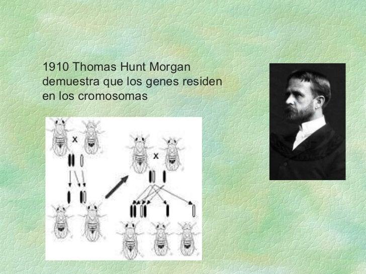 <ul><ul><li>1910 Thomas Hunt Morgan demuestra que los genes residen en los cromosomas </li></ul></ul>