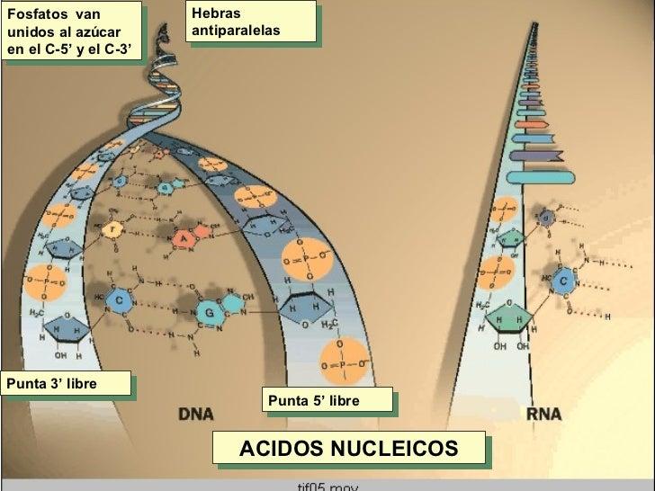 Fosfatos  van unidos al azúcar en el C-5' y el C-3' Hebras antiparalelas Punta 3' libre Punta 5' libre ACIDOS NUCLEICOS