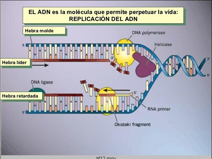 Hebra molde Hebra líder Hebra retardada EL ADN es la molécula que permite perpetuar la vida: REPLICACIÓN DEL ADN