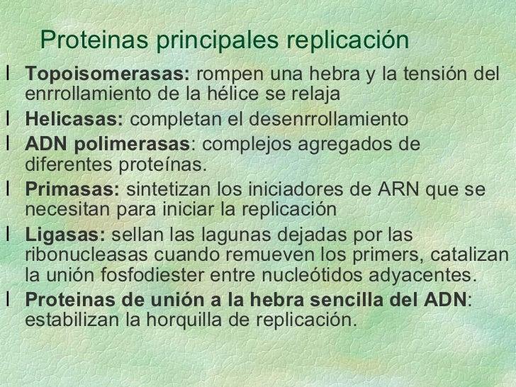 Proteinas principales replicación <ul><li>Topoisomerasas:  rompen una hebra y la tensión del enrrollamiento de la hélice s...