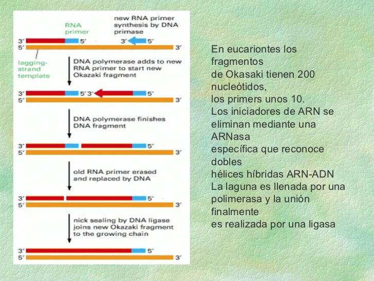 En eucariontes los fragmentos  de Okasaki tienen 200 nucleótidos,  los primers unos 10. Los iniciadores de ARN se  elimina...