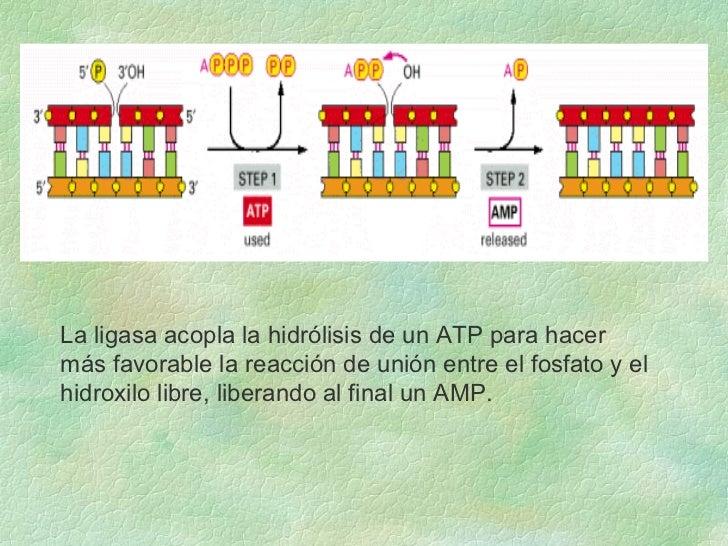 La ligasa acopla la hidrólisis de un ATP para hacer  más favorable la reacción de unión entre el fosfato y el hidroxilo li...