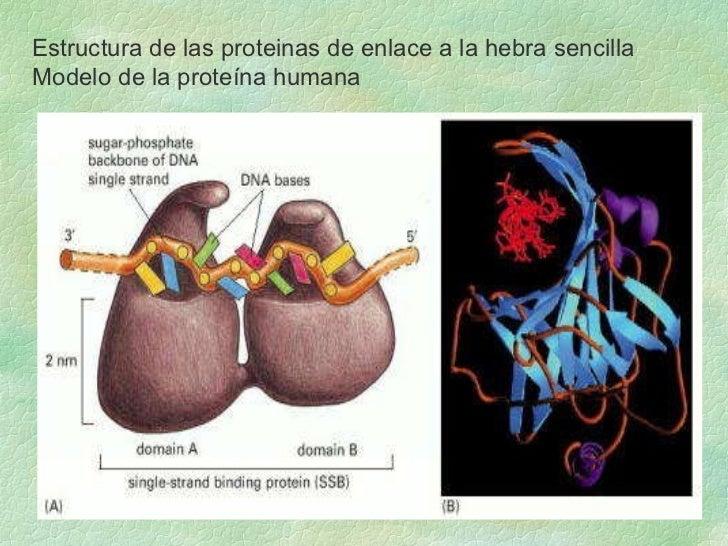 Estructura de las proteinas de enlace a la hebra sencilla Modelo de la proteína humana