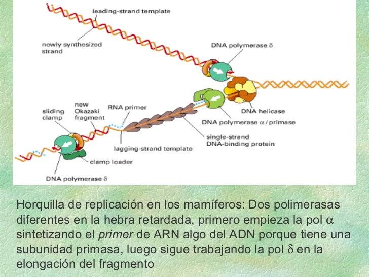Horquilla de replicación en los mamíferos: Dos polimerasas  diferentes en la hebra retardada, primero empieza la pol     ...