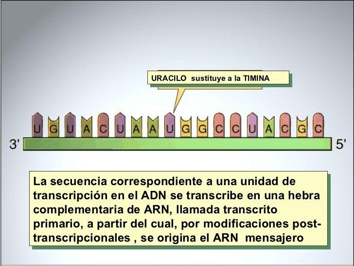 URACILO  sustituye a la TIMINA La secuencia correspondiente a una unidad de transcripción en el ADN se transcribe en una h...