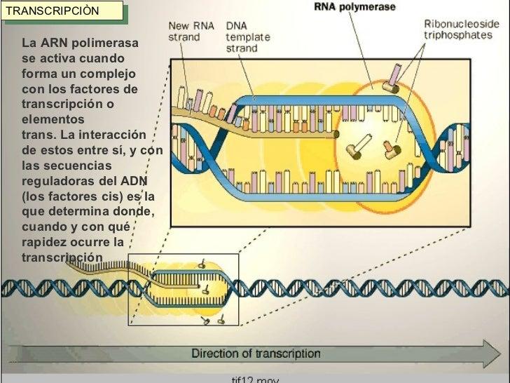 TRANSCRIPCIÒN La ARN polimerasa  se activa cuando  forma un complejo  con los factores de  transcripción o  elementos tran...