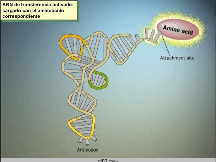 ARN de transferencia activado: cargado con el aminoácido correspondiente