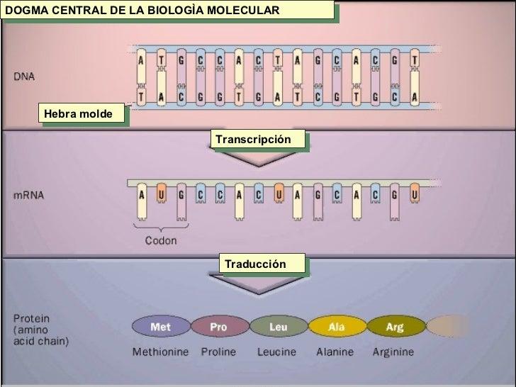 DOGMA CENTRAL DE LA BIOLOGÌA MOLECULAR Hebra molde Transcripción Traducción