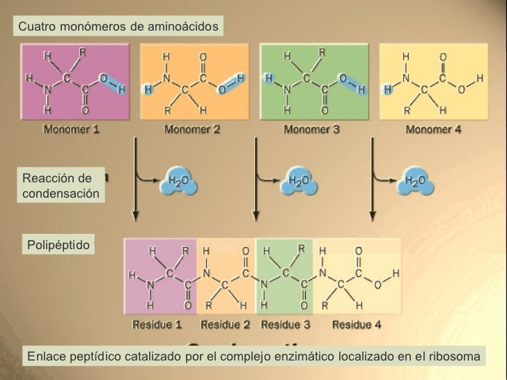 Cuatro monómeros de aminoácidos Reacción de  condensación Polipéptido Enlace peptídico catalizado por el complejo enzimáti...
