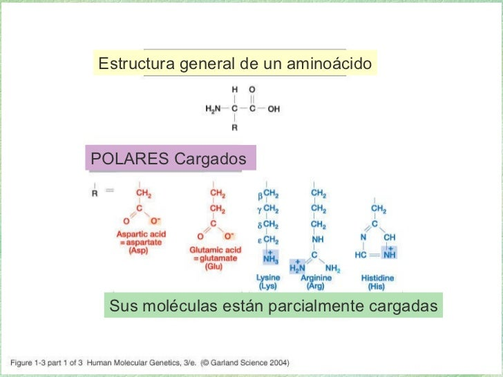 01_03.jpg Estructura general de un aminoácido POLARES Cargados  Sus moléculas están parcialmente cargadas