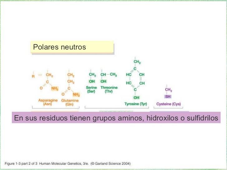 01_03_2.jpg Polares neutros En sus residuos tienen grupos aminos, hidroxilos o sulfidrilos