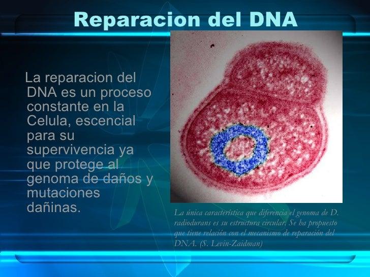 Reparacion del DNA <ul><li>La reparacion del DNA es un proceso constante en la Celula, escencial para su supervivencia ya ...
