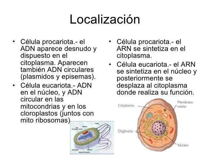 ubicacion celular del adn