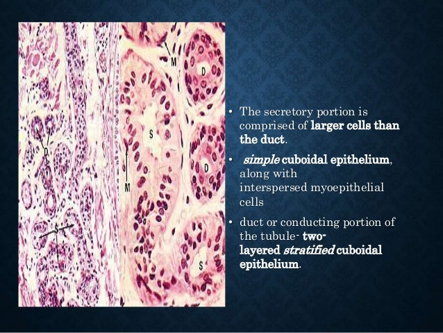 • The histological structure of apocrine sweat glands is similar to that of merocrine sweat glands • The lumen of the secr...