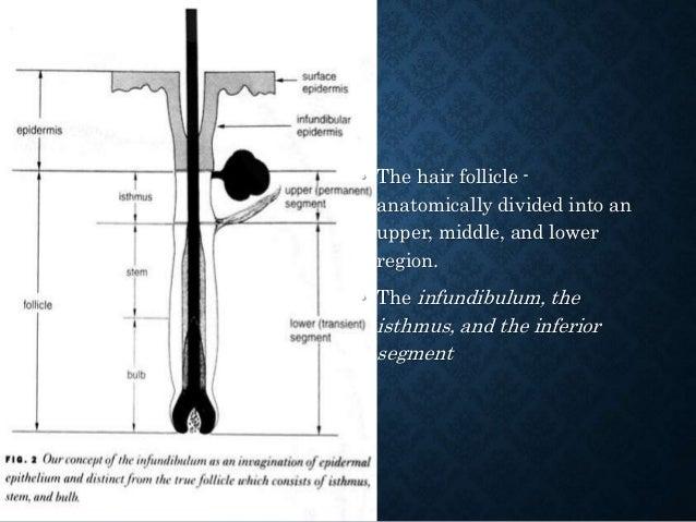 • Hair Germ Differentiation: Trichoepithelioma Desmoplastic Trichoepithelioma Trichofolliculoma Trichoblastoma Cutaneous l...