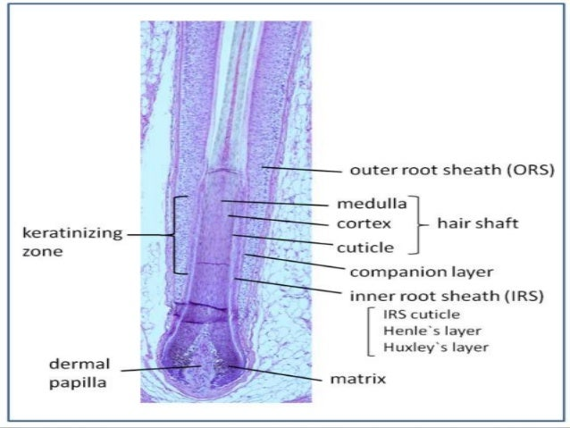 HAIR GERM TUMOURS • A 'group of benign cutaneous neoplasms in which hair follicle development may be partly or completely ...
