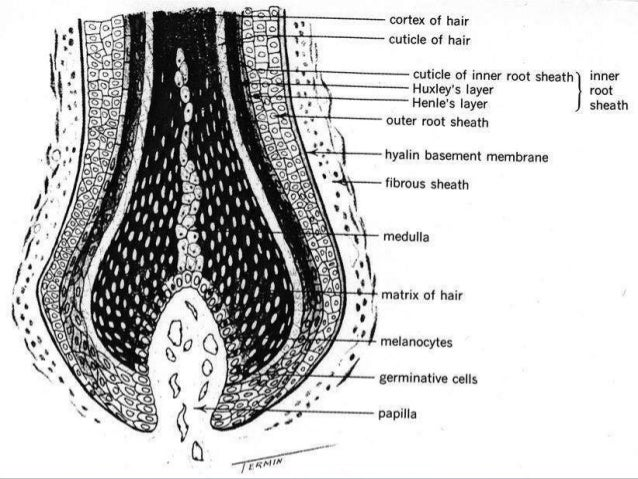 A hair follicle primordium (called the hair germ) forms as a cell aggregate in the basal layer of the epidermis during dev...