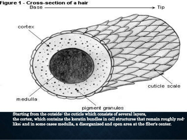 • The papilla is a large structure at the base of the hair follicle. • Connective tissue and a capillary loop