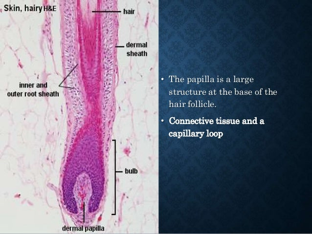 PERIPHERAL PALISADING • Basaloid follicular hamartoma • Trichoepitheliomas • Trichoblastoma • Trichilemmomas • Sebaceoma •...