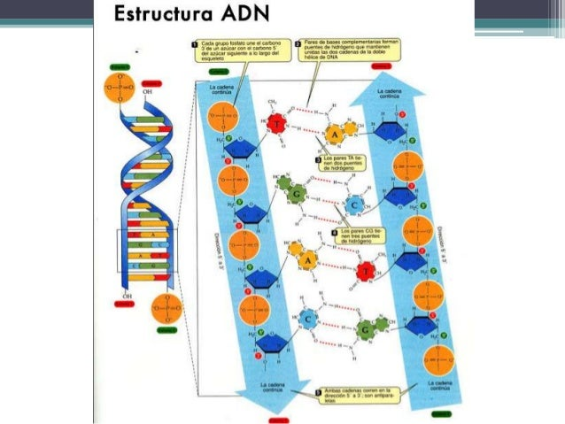 Estructura Molecular Del Adn Watson Y Crick