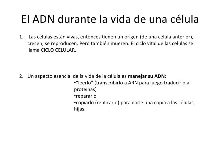 ADN y ciclo celular Crandon 2012 4º1 Slide 2
