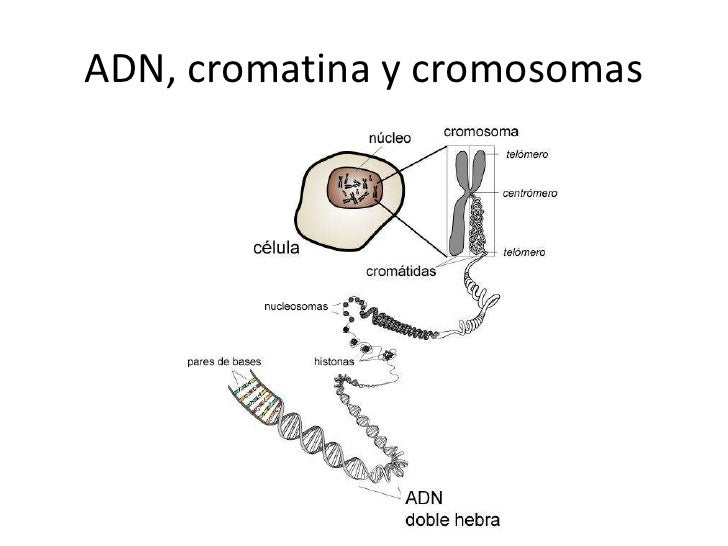 ADN y ciclo celular Crandon 2012 4º1 Slide 3