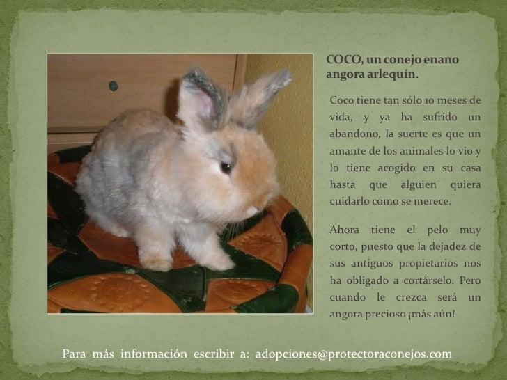 COCO, un conejo enano   angora arlequín. <br />Coco tiene tan sólo 10 meses de vida, y ya ha sufrido un abandono, la suert...