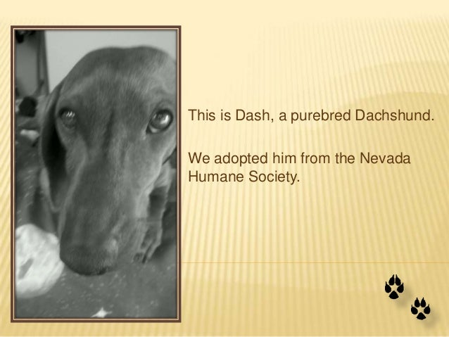 This is Dash, a purebred Dachshund.We adopted him from the NevadaHumane Society.