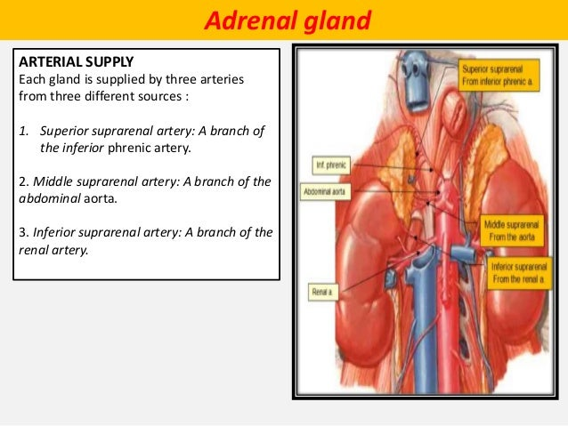 Anatomy of the adrenal gland