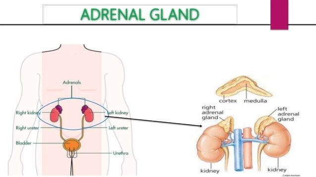 Adrenal Gland Thymus Gland