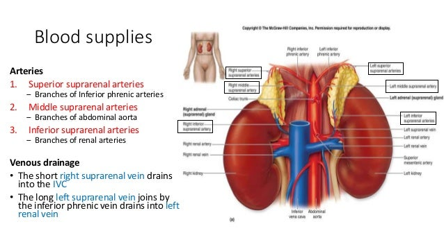 Adrenal gland endocrine-