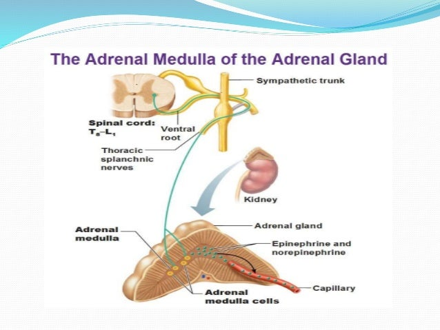Adrenal Gland Its Hormon