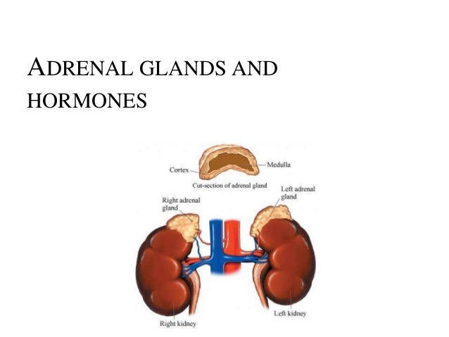glands and hormones The endocrine system helps your body properly function by communicating and coordinating vital processes via hormones hormones are produced and released by specific glands and are delivered through the bloodstream.