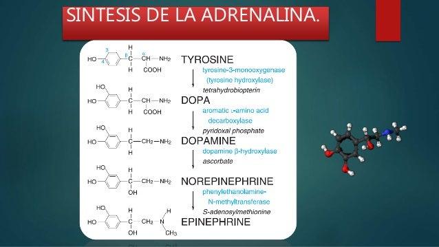 Adrenalina Bioquímica Medicina