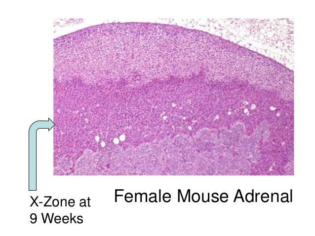 Adrenal gland paper