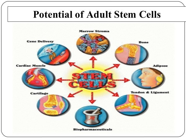 What Is An Adult Stem Cell 75