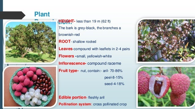 Advanced Production Technology Of Litchi