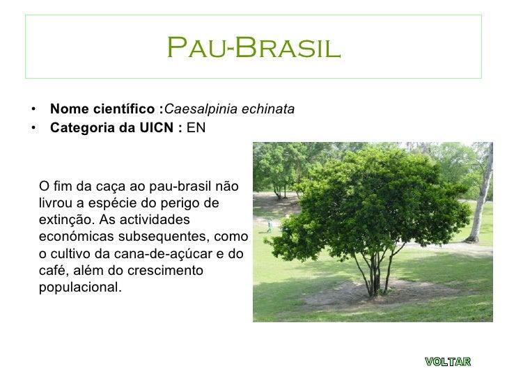 Esp cies em vias de extin o - Caesalpinia gilliesii cultivo ...