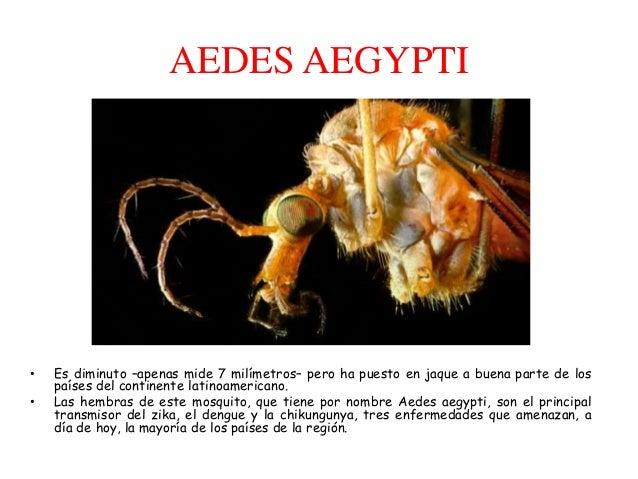 AEDES AEGYPTI • Es diminuto –apenas mide 7 milímetros– pero ha puesto en jaque a buena parte de los países del continente ...