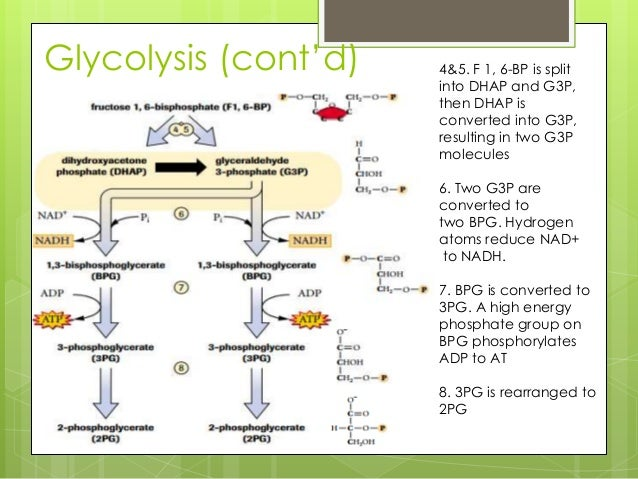 Aerobic cellular respiration 10 ccuart