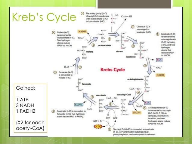 28 Cellular Respiration Flowchart Final Study Guide