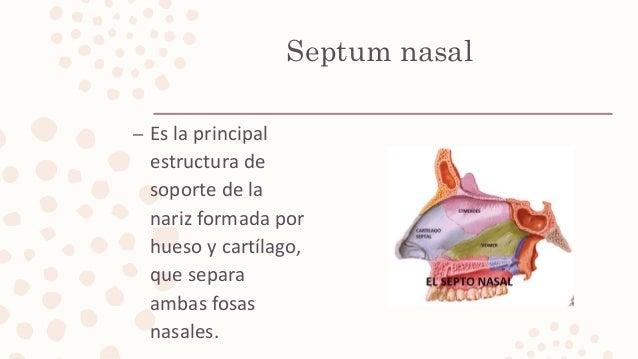 Septum nasal – Es la principal estructura de soporte de la nariz formada por hueso y cartílago, que separa ambas fosas nas...