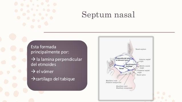 Septum nasal Esta formada principalmente por:  la lamina perpendicular del etmoides  el vómer cartílago del tabique